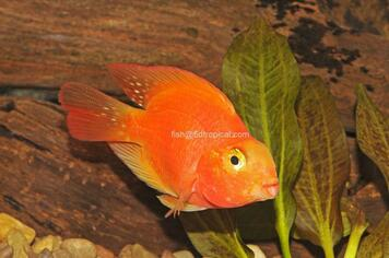CICHLID-BLOOD PARROT