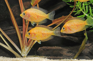 CICHLID-CHROMIDE RED