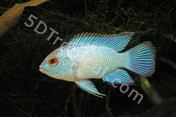 CICHLID-ACARA ELECTRIC BLUE MD