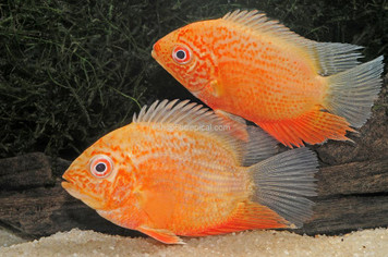 CICHLID-SEVERUM GOLD RED SPOT MD