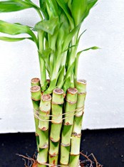 PLANT - LUCKY BAMBOO STRAIGHT - SPECIAL - 25183F-SP