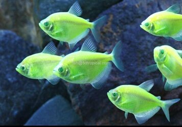 GLOFISH®-TETRA ELECTRIC GREEN®