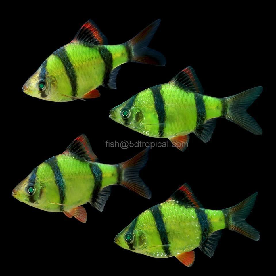 Electric Green Tetra Fish Glofish®-barb electric green ® - 5d ...