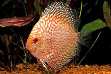 PIGEON BLOOD DISCUS - 4""
