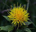 Safflower - High Oleic - Organic 8oz
