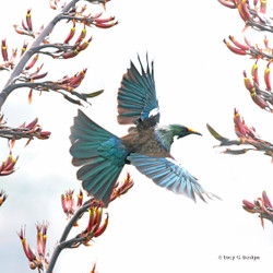 Flying Tui glass wall art print for sale, featuring a beautiful New Zealand Tui Bird.