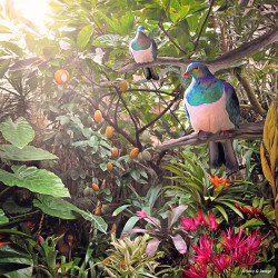 Temptation' glass wall art print for sale, featuring a NZ Wood Pigeon and Kiwi in a lush tropical oasis.