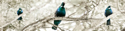 Tui Song', three singing Tui's sitting on branches - nature photography print for sale by Lucy G.