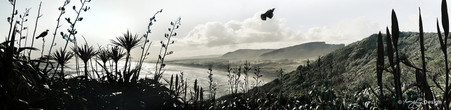 Flying Tui, Muriwai Beach, Auckland, New Zealand -  panoramic landscape photo with cabbage tree, flax and Tui.