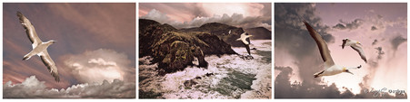 Stormy West Coast, Auckland, NZ - gannets fly through stormy skies and water - print for sale.
