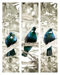 Tui Song'  three NZ Tui birds sit on branches singing - nature, photo artwork print for sale by Lucy G.