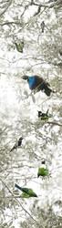 Dawn Chorus' NZ Bellbird, Stitchbird, Tui, Wood Pigeon (Kereru)  - nature, photo art print for sale.