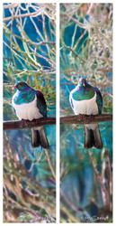 NZ Wood Pigeon (Kereru) sitting on a branch - nature, photo art print for sale by Lucy G.