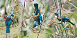 Tui Portrait', three NZ Tui birds sit on flax - nature, photo art print for sale by Lucy G.