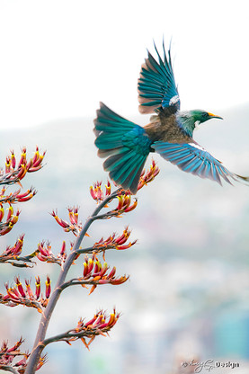 NZ Tui', a Tui bird flies through the air framed by red flax - photo art print for sale by Lucy G.