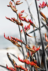 Red Flax' closeup photo of red New Zealand Flax in bloom - photo art / canvas print for sale.
