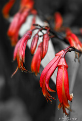 Flax on Fire' close up photo of red NZ Flax flowers - fine art  print / canvas photo for sale.