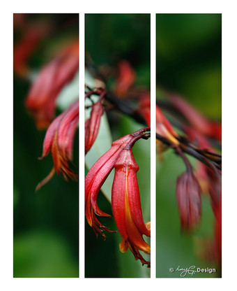 Photo of red NZ Flax flowers - fine art  print / canvas photo  for sale.