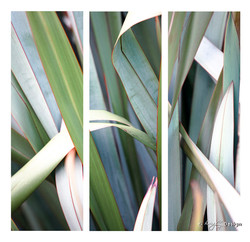 Fusion' close up photograph of green NZ flax leaves - fine art print / canvas photo for sale.