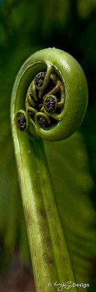 New Zealand fern frond / NZ Koru - close up photo art / canvas print for sale.