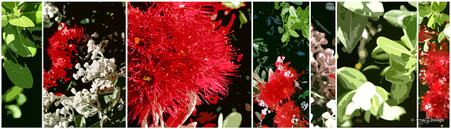 NZ Pohutukawa' collage  - New Zealand art print / canvas photo print for sale by Lucy G.