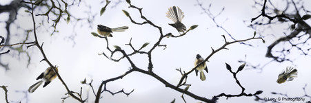 NZ Fantail photo wall art print for sale, featuring fantails on blossoms