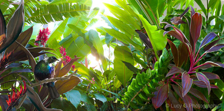 NZ Tui, Fantail and tropical foliage -Kiwiana, New Zealand photo wall art print for sale.