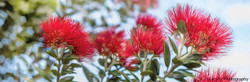 Pohutukawa flower - NZ photo art print / canvas wall art for sale by Lucy G