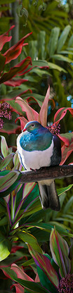 NZ Kereru / Wood Pigeon photo art print / wall art for sale by Lucy G