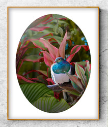 ''Reflection'' tropical NZ Wood Pigeon in lush garden setting.  A3 oval photo prints for sale .