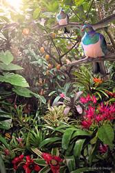 ''Temptation' NZ Wood Pigeons (Kereru) in lush tropical garden setting.  A3  photo art prints for sale.