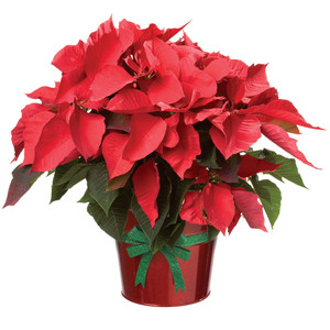 """Poinsettia in foil with bow 20' tall by 18"""" wide"""