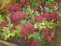 Two Organic Norfolk Dark Red Sedum Root Systems,Late Summer Flowering Cottage Garden Plant