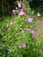 Organic English Norfolk Great Willow Herb,Cottage Garden Wildflower,Bee loving plant.