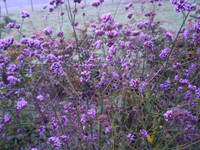 2 Norfolk organic Verbena Bonariensis cottage garden plants,late summer flower