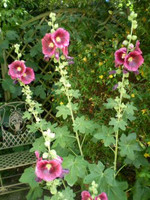 50 Organic seeds.Norfolk Hollyhock,Cerise Pink