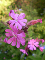 1 Wildflower garden plant root system.Organic Norfolk Red Campion. Silene dioica.