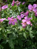 2 Organic Norfolk Pink Hardy Geranium root systems,Cranesbill,Plants,Perennials.