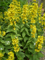 2 Organic Norfolk Yellow Loosestrife root systems,Lysimachia Vulgaris.Cottage Garden Plant