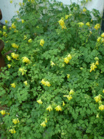 1 Organic Norfolk Corydalis Lutea Root System, Cottage Garden plant
