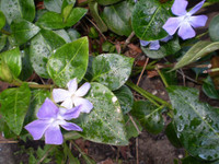 2 Pretty Organic Periwinkle,Vinca major,Great Shade Plant,