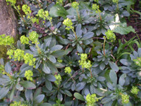 2 Pretty Organic Norfolk Euphorbia amygdaloides,The wood spurge,Drought tolerant