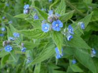 2 Organic Norfolk Alkanet,pentaglottis semperviren,Herb,Herbalist Plant