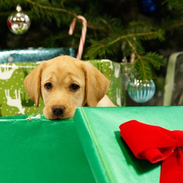 christmas-puppy-325x325.jpg