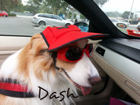 "Dash, the ""Superstar"" Border Collie, looking like a movie star in his red hat DH405 and matching red Doggles ILS."