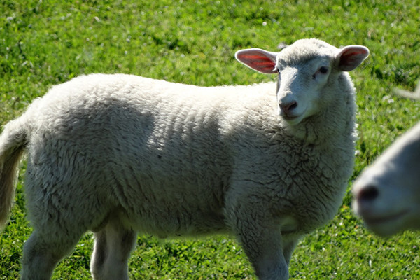 Lamb Qurbani
