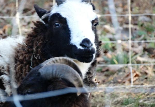 Qurbani at Slaughterhouse: Female Lamb