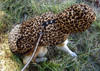 Large Dog Leopard Terry Track Suit Hoody