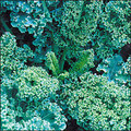 Dwarf Blue Kale-Big Pack