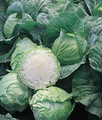 Wholesale Early Jersey Wakefield Cabbage Seeds-20,000 Seeds